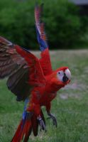 Scarlet Macaw by Parides