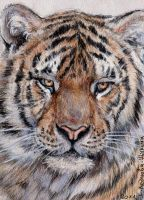 ACEO Tiger by sschukina