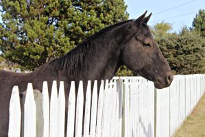 Black Quarter Horse by EquineGhost