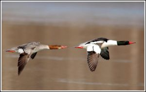 common merganser by griffspixs