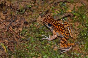 spotted stream frog by melvynyeo