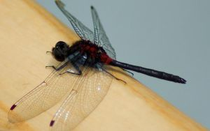 Red and Black Dragonfly by evilspork