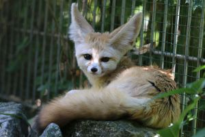 Fennec Stock 22 by Malleni-Stock