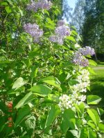 White lilacs among purple by vonderwall