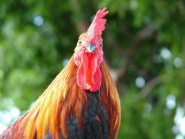 Key West Rooster by Storm160