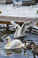 Swans 2 by Risandell