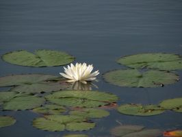 Lily Pad Stock 1 by Moonchilde-Stock