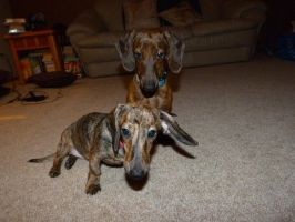 Lincoln and Abby, Brindle Dachshunds 1 by Artemis015