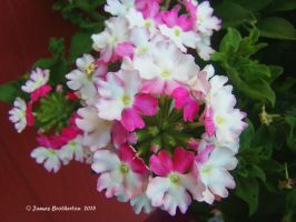 White And Pink Flowers by jim88bro