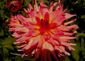 Pink Dahlia by LastPaige