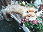 Alaskan red fox soft mount for sale by OinaWarrior-LoonaIto