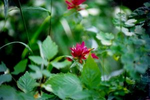 indian paintbrush by poeticwriter007