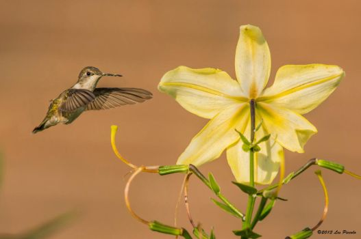 The Last of the Lilies by Les-Piccolo