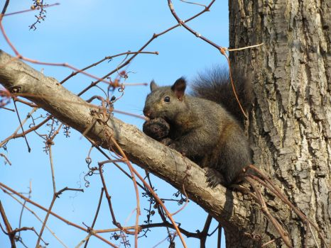 Grey squirrel 1 by bellybuttongazer
