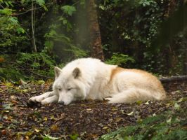 Arctic Wolf 9 by xCrystals
