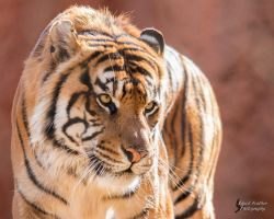 Sumatran Tiger 2 by EdgedFeather