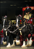 Shire Horse Show: Turnout 16 by ladyepona
