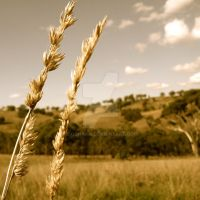 Wheat Field by Doghana