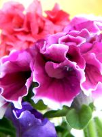 Carnation Closeup by Jade-Encrusted-Bugs