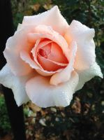 Rose Stock 01 by hp-abrasion