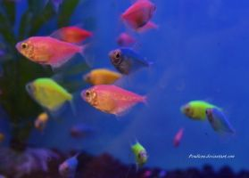 Stock - Glofish (Skirt Tetras) 13 by Pendlera