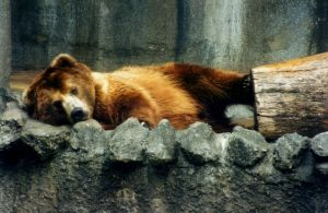 Brown Bear - stock by dtf-stock