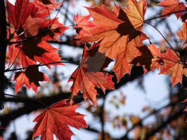 Red Leaves 3 by whisper-n-the-wind