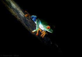 Amazing Frenchy, Agalychnis callidryas by AlexandersMantids