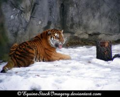 Siberian Tiger 4 by EquineStockImagery