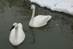 swans 4447 by stocklove