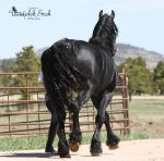 Friesian Stock 1 by Thunderbolt-Designs