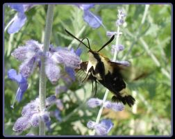 Hummingbird Moth 2 by Jedi-With-Wings