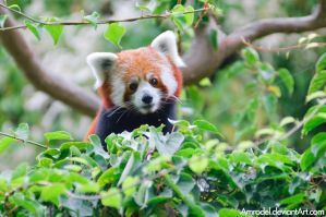 Red Panda VII by amrodel