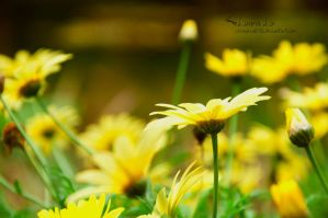 Dream:Yellow by LuanaRPhotography