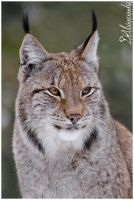 Lynx Portrait by Salvas