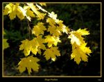 Sunlit Gold by David-A-Wagner