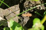 Common Lizard by LemonicDemon