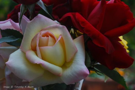 Roses PeaceRed 2503-3 by TKBeam
