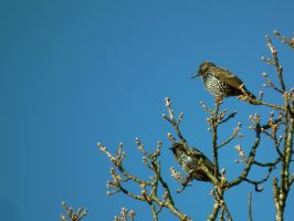 more starlings in a tree by harrietbaxter