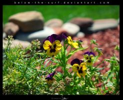 Pansy by below-the-surf