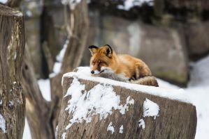 Resting Red Fox by JRL5