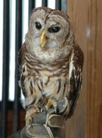 Strix varia- Barred owl by lumibear