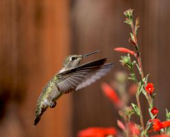 Hummingbird with California Fuchsia by prancingdeer722