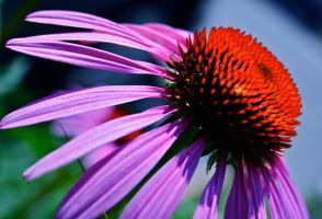 Cone Flower 3 by jg244