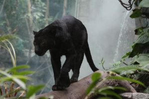 Black Leopard Stock 3 by HOTNStock