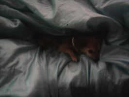 My dog curled up in a blanket by killmeonyourownterms