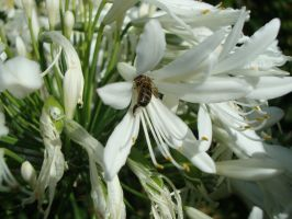 bee in agapanthus by CamillaAnne