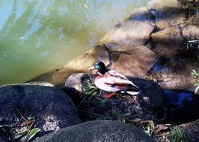 duck by archizero