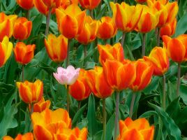 Tulips and an infiltrated blossom by MultimediaNaranja