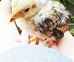 My darling chick, Tricola by josephinebruce